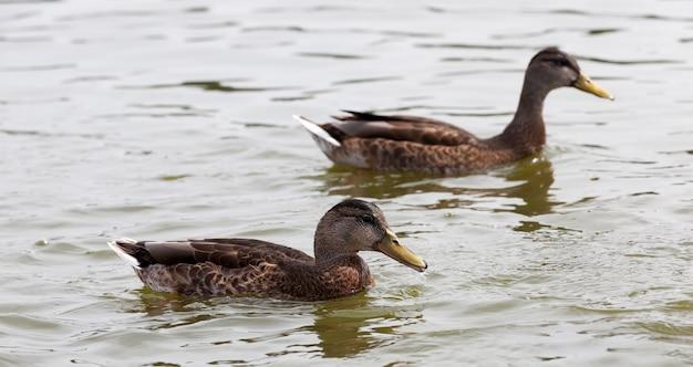 Wilde watervogels op het grondgebied van meren, eenden in de natuurlijke omgeving, wilde eenden tijdens recreatie en jacht