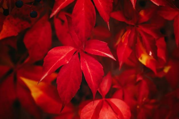 Wilde wingerdbladeren in de herfstkleuren van rood. detailopname. selectieve aandacht