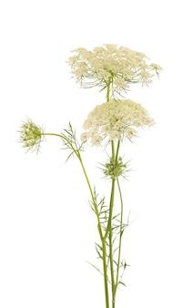 Wilde wortel of daucus carota, bloemen geïsoleerd op een witte achtergrond. medicinale kruidenplant.