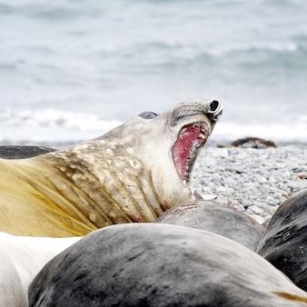 Wilde zeehond die in antarctica rust