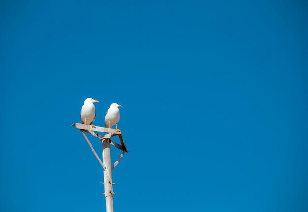 Wilde zeemeeuwen zitten bovenop een pilaar tegen een blauwe lucht.