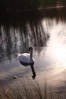 Wilde zwaan dempen op zijn meer in frankrijk.