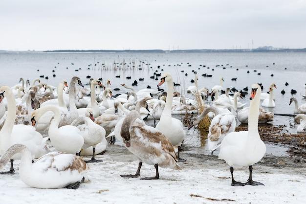 Wilde zwanen die in het meer zwemmen