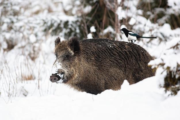 Wilde zwijnen die zich in sneeuw in de winteraard bevinden
