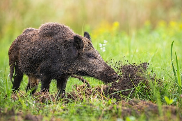 Wilde zwijnen graven met snuit in de grond en gooien modder weg