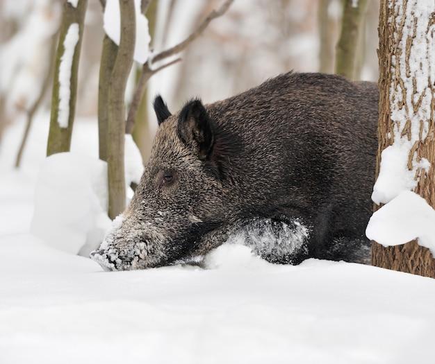 Wilde zwijnen in de winter woud