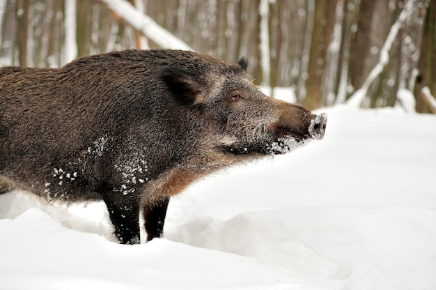 Wilde zwijnen in de winterbos