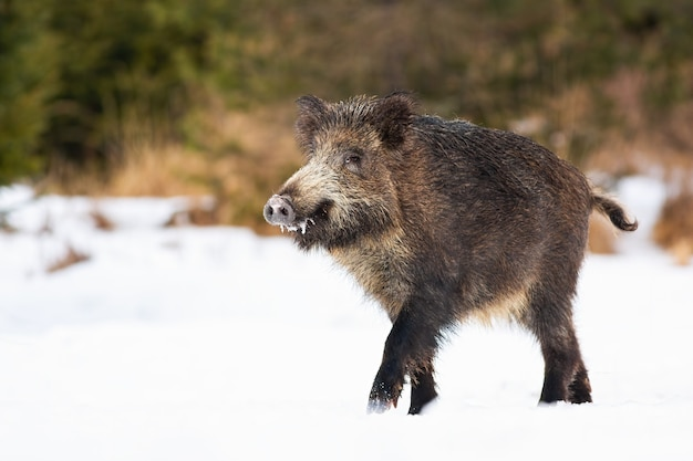 Wilde zwijnen lopen op besneeuwde weide in de natuur van de winter
