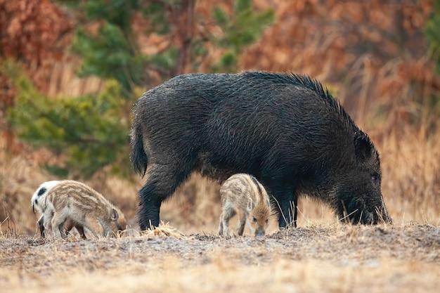 Wilde zwijnen met biggen snuiven op veld in de herfst