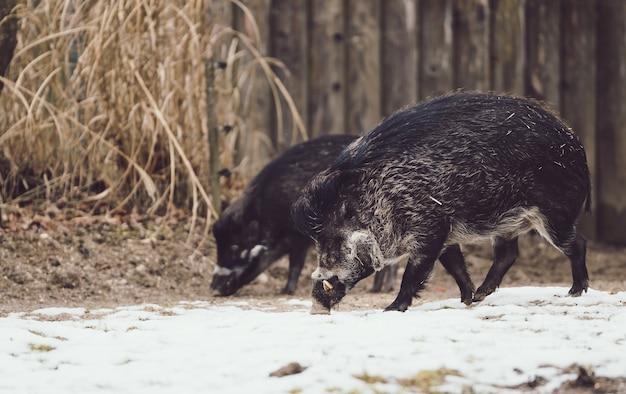 Wilde zwijnen op zoek naar voedsel in de met sneeuw bedekte grond