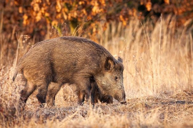 Wilde zwijnen snuiven op droog veld in de herfst natuur.