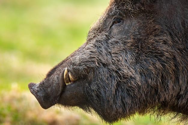 Wilde zwijnen, sus scrofa, kop die in het voorjaar in detail op grasland kijkt.