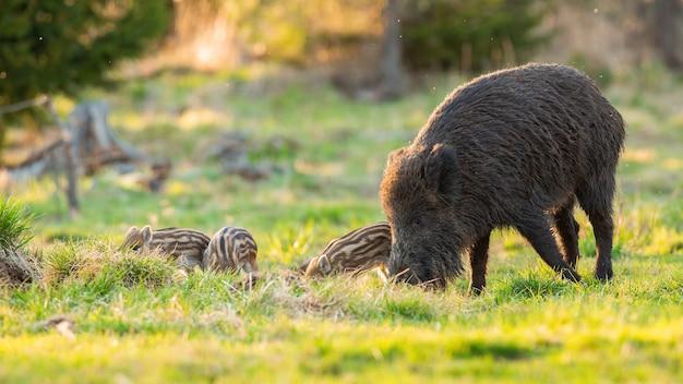 Wilde zwijnenfamilie die op weiland in de lenteaard voeden