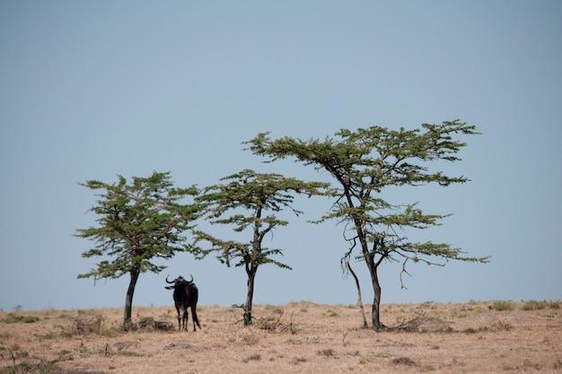 Wildebeest-dieren in het wild in keyna