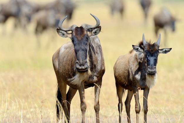 Wildebeest in savanne, nationaal park van kenia, afrika