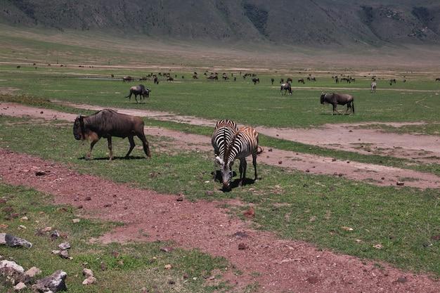 Wildebeest op safari in kenia en tanzania, afrika
