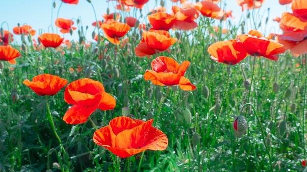 Wildflowerpapaver, tegen de blauwe hemel