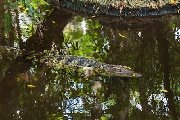 Wildlife crocodile slaapt in een moeras om te jagen.