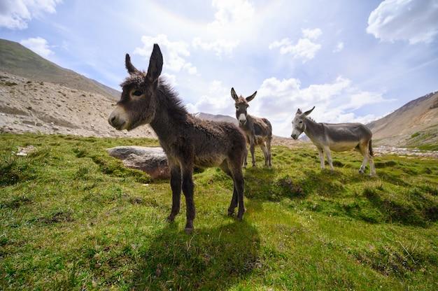 Wildlife ezels op berg