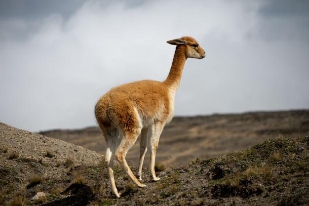 Wildlife in het chimborazo wildlife reserve in ecuador