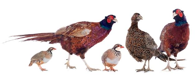 Wildvogels