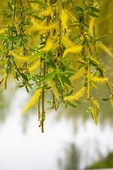 Wilg door het water met een bezinning. bloeiende wilg in het vroege voorjaar. gele meeldraden en jij op de takken. ontwaken van de natuur na de winter.