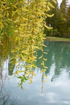 Wilg door het water met een bezinning. bloeiende wilg in het vroege voorjaar. gele meeldraden en jij op de takken.