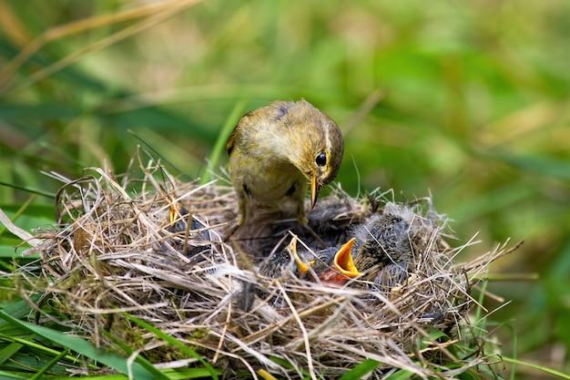 Wilgengrasmus die kleine kuikens op nest in de zomeraard voeden