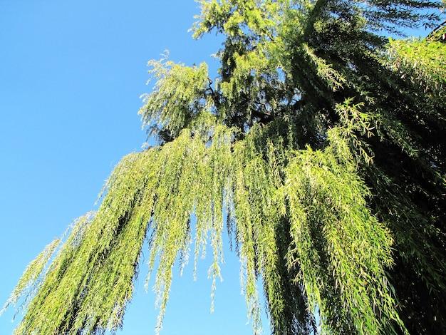 Wilgentakjes hingen tegen de blauwe lucht