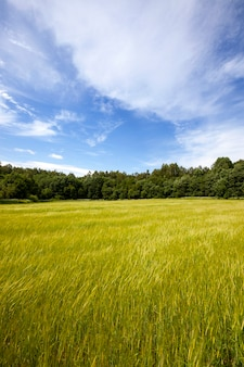 Winderig weer op landbouwgebied. de afbeelding toont de trilling van tarweoren.