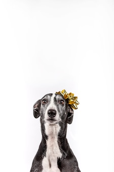 Windhond met kerst cadeau bloem op het hoofd