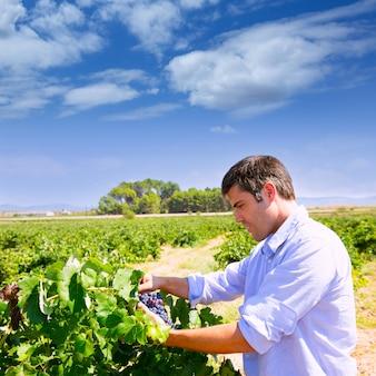 Winemaker oenoloog die bobal wijndruiven controleert