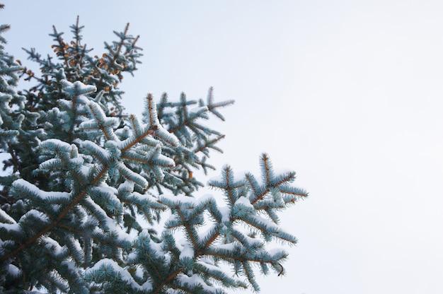 Winter achtergrond. een naaldboom in rijp en sneeuw