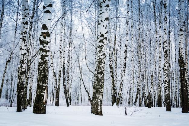 Winter berken bomen