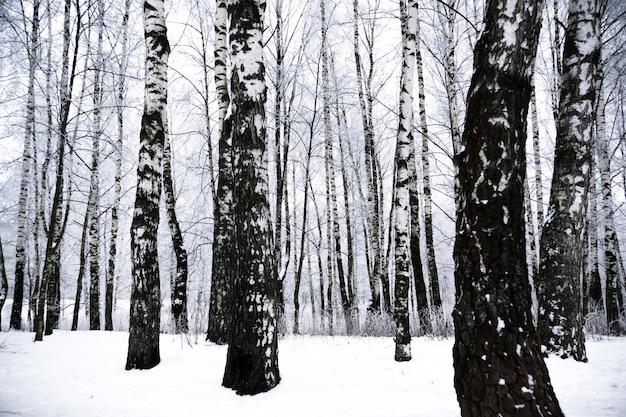Winter berkenbomen
