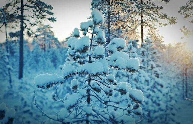 Winter besneeuwd bos bij zonsondergang. prachtig kerstlandschap