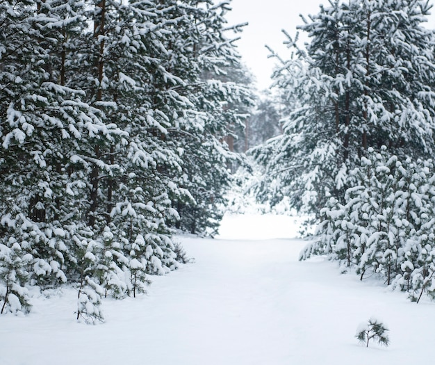 Winter besneeuwd bos. dennenbos bedekt met sneeuw in januari