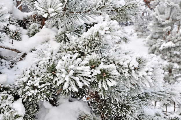 Winter besneeuwde dennenboom takken close-up. kerstconcept