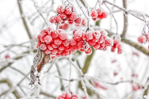 Winter bevroren viburnum onder sneeuw. viburnum in de sneeuw. eerste sneeuw. herfst en sneeuw. mooie winter