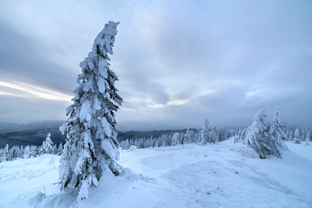 Winter blauw landschap. nette boom in diepe sneeuw op bergopheldering op koude zonnige dag van bewolkte hemel.