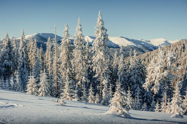 Winter boom in de sneeuw. karpaten. oekraïne. europa.