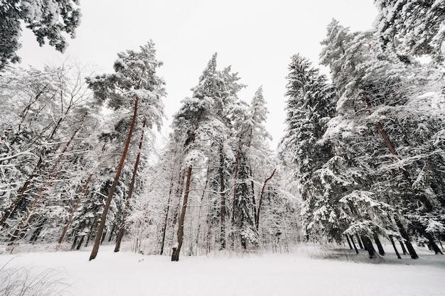 Winter bos met besneeuwde bomen in de winter. veel sneeuw op de kerstbomen.