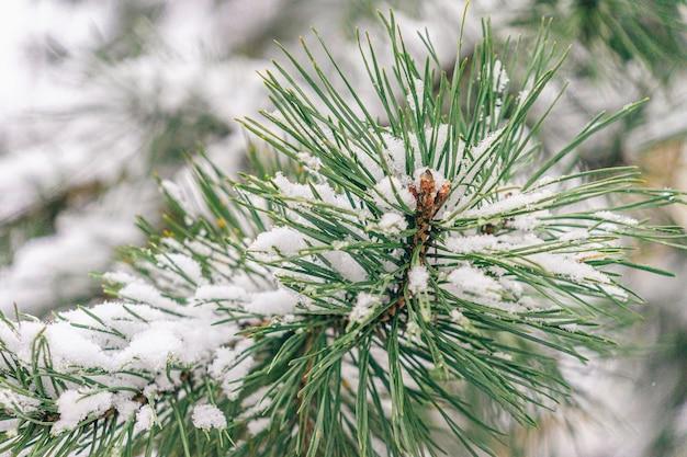 Winter muur. natuurlijke pijnboomtakken bedekt sneeuw in bos. koude dag in winterseizoen.