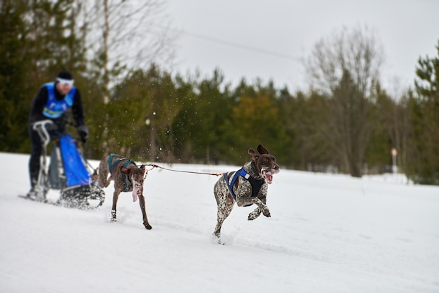 Winter sledehonden racen. hondensport slee teamcompetitie. wijzerhonden trekken slee met musher