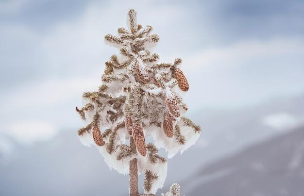 Winter. sneeuw bedekte sparren met kegels.