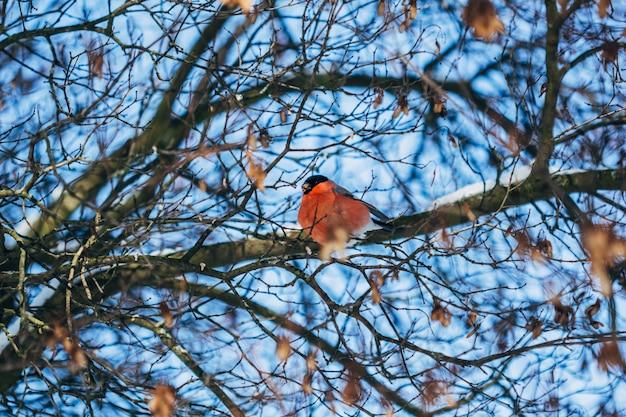 Winter vogel goudvink zittend op boomtakken