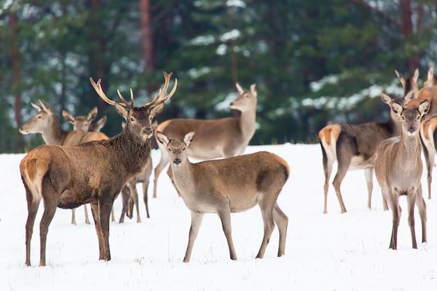 Winter wildlife landschap met nobele herten