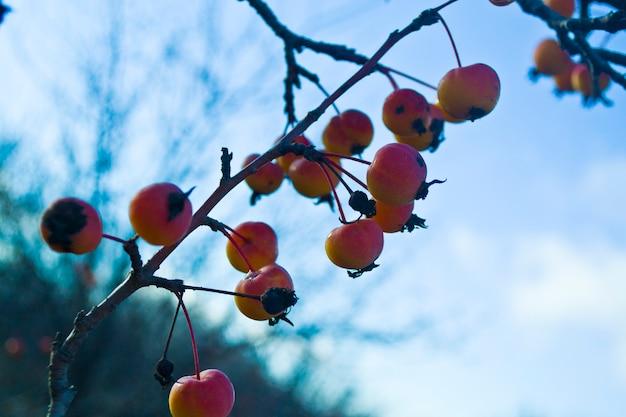 Winterappels op een kale tak zijn tijd