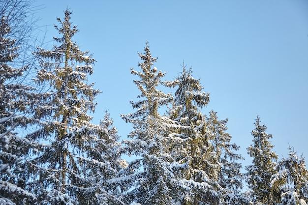 Winterbos, groene sparren tak bedekt met sneeuw, sparren, koude zonnige dag