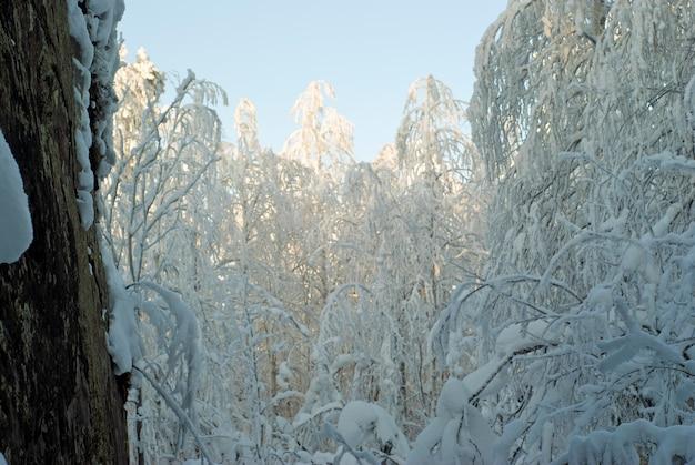 Winterbos in de avond na een sneeuwval, uitzicht vanaf de voet van een grote boom